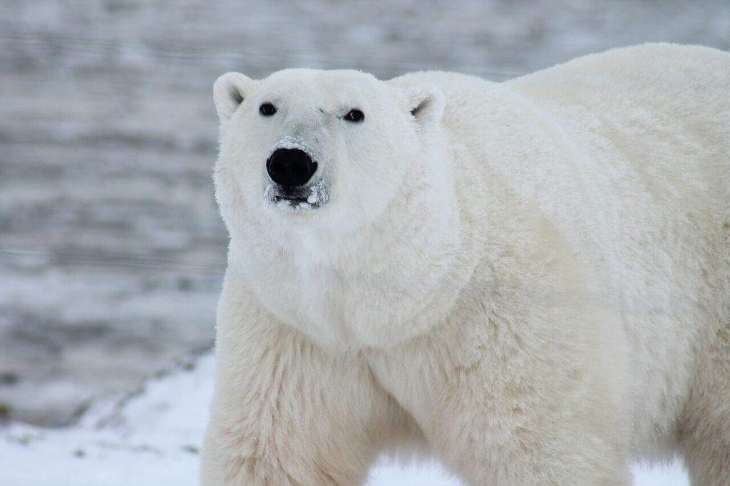 Orso polare canadese in primo piano